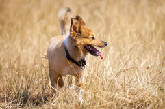 Little dog in corn field Stock Photos