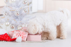 Little dog curious about his gifts. Cute little dog Maltese curious about his gifts near Christmas tree Royalty Free Stock Image