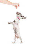 Little Dog Dancing For a Treat Royalty Free Stock Image