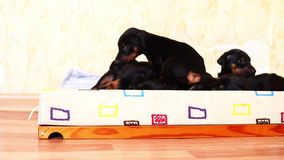 A little baby dog doberman jumps into the basket to his fellow puppies. A little dog doberman jumps into the basket to his fellow puppies stock video footage
