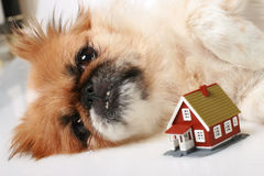 Little dog is dreaming about home. Royalty Free Stock Images