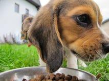 Little dog eat dog food royalty free stock photo