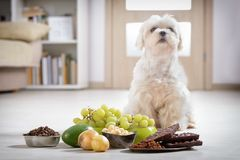 Little dog and food toxic to him. Little white maltese dog and food ingredients toxic to him royalty free stock images