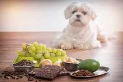 Little dog and food toxic to him. Little white maltese dog and food ingredients toxic to him royalty free stock photo