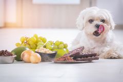 Little dog and food toxic to him. Little white maltese dog and food ingredients toxic to him stock photo