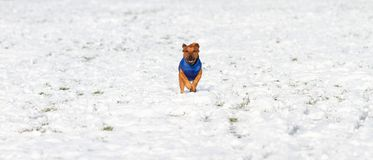 Little dog with friendly face running in the snow.  royalty free stock photos