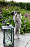 Cute little dog tries to dance. Little dog in the garden,  standing on hind legs and tries to dance, begging for a treat Royalty Free Stock Photography