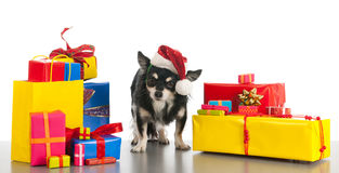 Little dog between the gifts Stock Image