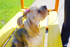 Little dog - a girl Royalty Free Stock Photo