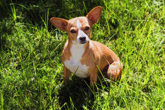 Little dog in grass. A cute little mixed breed dog sitting in green grass and looking up Stock Images