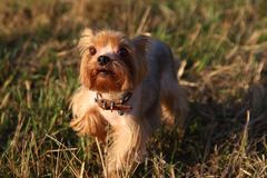 Little dog on grass Royalty Free Stock Images