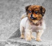 Little dog on a grey concrete stock image