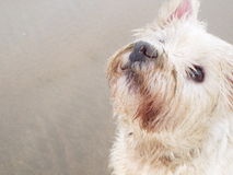 Little dog Gus! Royalty Free Stock Images