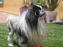 Pekingese. Little dog with hair like a lion royalty free stock photo