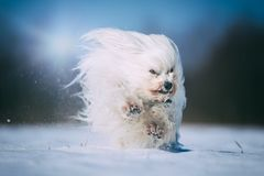 Little dog has a lot of fun in the snow Stock Photo