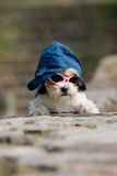 Little dog with hat and sunglasses on Royalty Free Stock Photos
