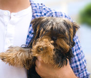 Little dog held by a man. Photo of a yorkshire terrier Royalty Free Stock Photos