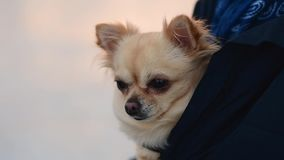 Little dog hidden in jacket. It`s freezing outside. Detail of a small chihuahua stock video