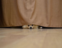 Little Dog hiding behind a curtain Royalty Free Stock Photography