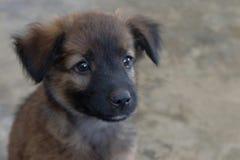 Little dog innocent eyes. Royalty Free Stock Photo