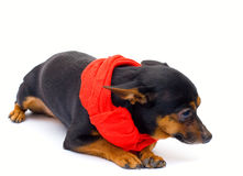 Little dog. isolated. Little funny  dog. close-up. isolated on white Royalty Free Stock Images