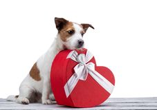 Little dog jack russell terrier on a white background with a heart. Festive pet, February 14, spring royalty free stock photo