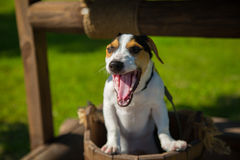 Little dog Jack Russell Terrier yawns Royalty Free Stock Photo