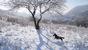 Little dog jumping through the snow Royalty Free Stock Photo