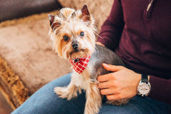 The little dog on the lap of men. A small dog with a red handkerchief on the lap of men Stock Photography