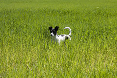 Little dog on the lawn. Little black and white spotted dog staying in the middle of the lawn royalty free stock photos