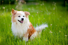 Little dog on the lawn. Blurred background Royalty Free Stock Images