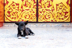 Little dog lay on floor at entrance of Thai temple Royalty Free Stock Images