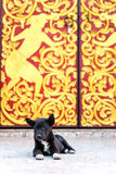 Little dog lay on floor at entrance of Thai temple Royalty Free Stock Photo