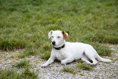 Little dog laying on grass look innocent and looking to the side Royalty Free Stock Images