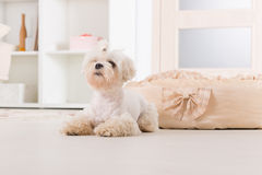 Little dog laying at home Stock Photos