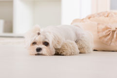 Little dog laying at home Royalty Free Stock Photography