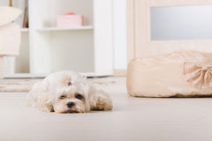 Little dog laying at home Royalty Free Stock Image