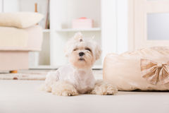Little dog laying at home Royalty Free Stock Images