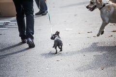 Little dog on leash. big dog rushes at small dog on street. Dangerous walking animals. Aggressive dog