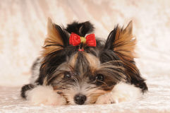 Little dog lie at paws. Little beaver york lie at paws royalty free stock photos