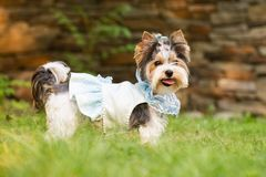 Little dog. In clothes for a walk Stock Images