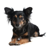 Little Dog looking aware Royalty Free Stock Images