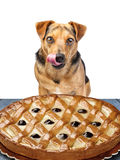 Little dog looking delicious pie licking chops isolated Royalty Free Stock Photography