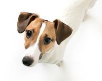 Little dog looking Stock Images