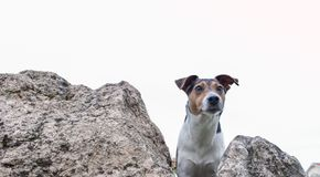 Little Dog Looking From The Mountain. Small Jack  looking from the rocks Stock Photos