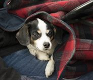 LITTLE DOG LOOKING OUT FROM COAT. A small terrier dog is staying warm but peeks out from a coat on his owner`s lap stock photo
