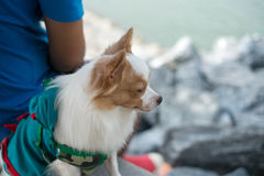 Little dog looking for something Royalty Free Stock Photography