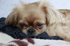 A little dog with sadness in her eyes Royalty Free Stock Images