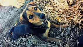 Little dog lying in the grass. And watching with bright grateful eyes stock photo