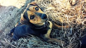 Little dog lying in the grass. And watching with bright grateful eyes stock image